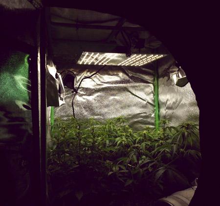 როგორ მოვიყვანოთ შეზღუდულ სივრცეში კანაფის კომპაქტური მცენარეები