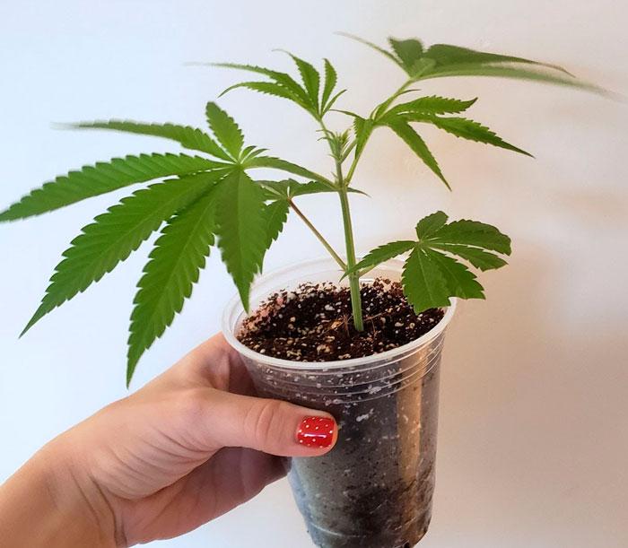 რა ემართება მშობელ მცენარეებს
