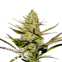 Agamotto feminised GanjaVIP Seeds