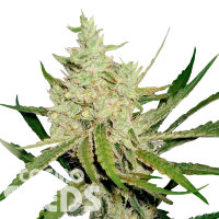 Annex feminised GanjaVIP Seeds