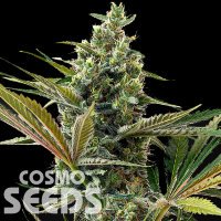 Auto Super Lemon Haze CBD feminised Ganja Seeds