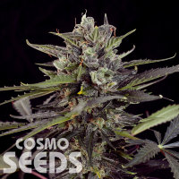 Havok feminised GanjaVIP Seeds