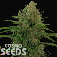 Auto Critical Kush feminised Ganja Seeds