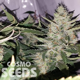 Auto X.Treme feminised Ganja Seeds