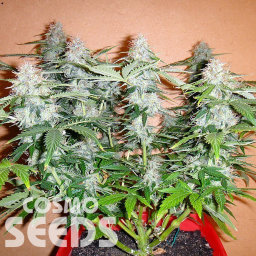 Auto Alakol feminised Bang Seeds