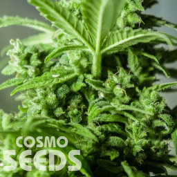 Auto Altay feminised Bang Seeds