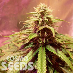 Auto Power Plant feminised Ganja Seeds
