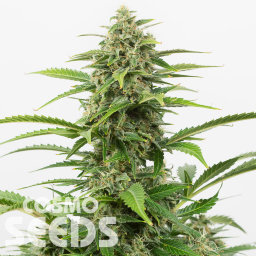 Auto Emba feminised Bang Seeds