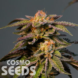 LA Confidential feminised Ganja Seeds