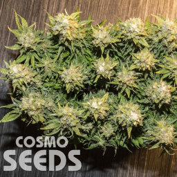 Auto Karatal feminised Bang Seeds