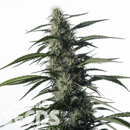 Auto Medical CBD feminised Ganja Seeds