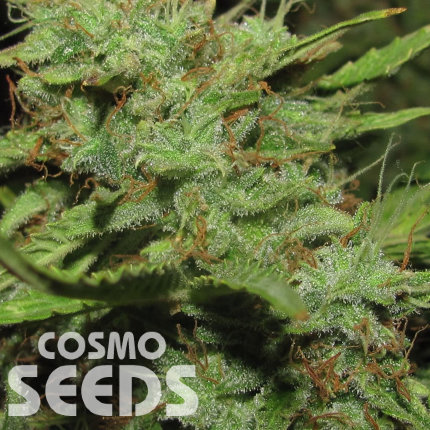 Auto Medeo feminised Bang Seeds