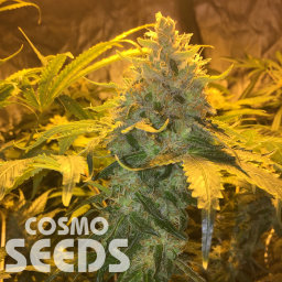 Grapefruit Diesel feminised Ganja Seeds
