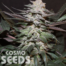 Auto Tobol feminised Bang Seeds