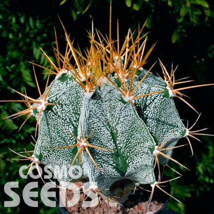 Astrophytum ornatum MIX