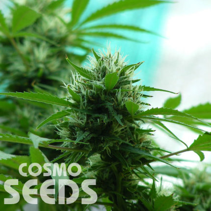 Auto Turgai feminised Bang Seeds
