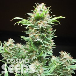 Wembley feminised Ganja Seeds