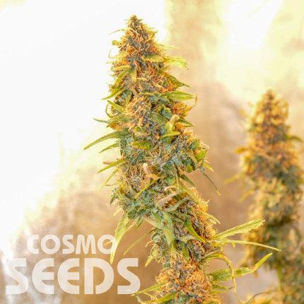 Auto Chronic Ryder feminised Ganja Seeds