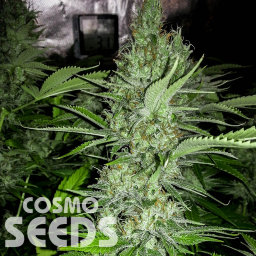 Altay feminised Bang Seeds