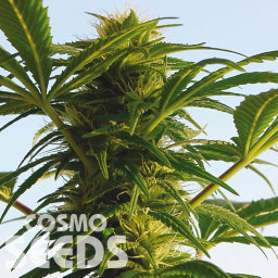 Aspan feminised Bang Seeds