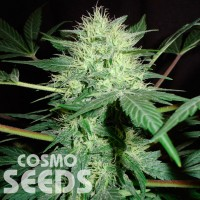 Auto Northern Lights feminised Ganja Seeds