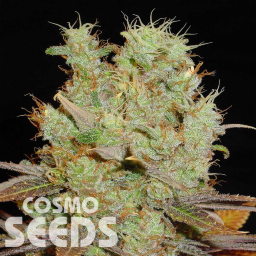 Somango feminised Ganja Seeds
