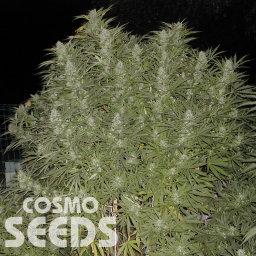 Baursaki feminised Bang Seeds