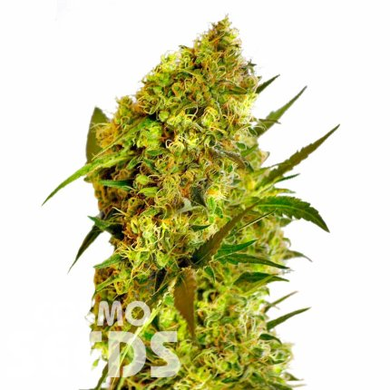 Big Devil feminised Ganja Seeds