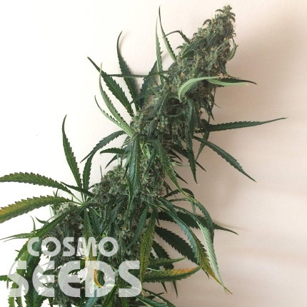 Chuy Valley feminised Bang Seeds