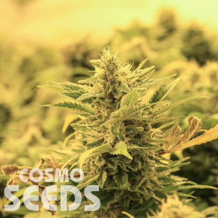 Karakum feminised Bang Seeds