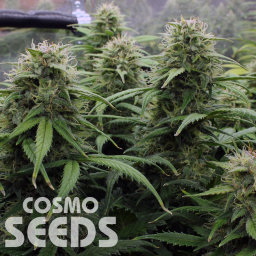 Kenepshep feminised Bang Seeds